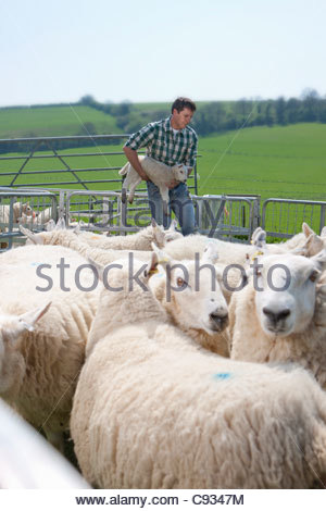 Shepherd holding lamb in pasture - Stock Photo