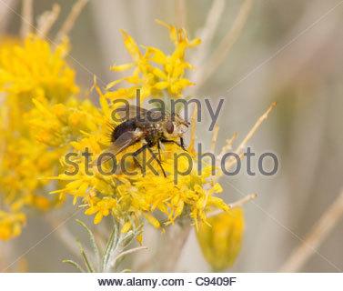 Tachinid Fly tachinids Diptera Tachinidae 'New Mexico' - Stock Photo