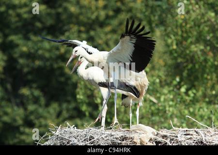Wild bird in a natural habitat. Wildlife Photography. Ciconia ciconia, Oriental White Stork. - Stock Photo