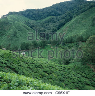 Tea estates in the Cameron Highlands of Malaysia on a sultry overcast day - Stock Photo