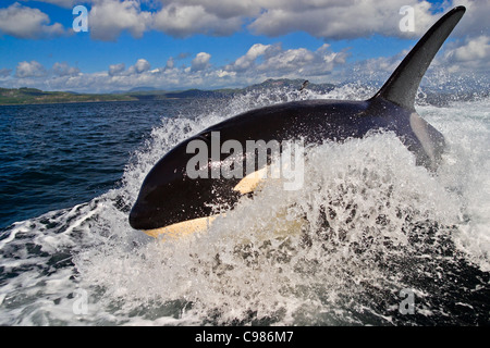 Surfing Killer whale male (Orcinus orca) jumping out of the water of Vancouver Island, British Columbia, Canada - Stock Photo