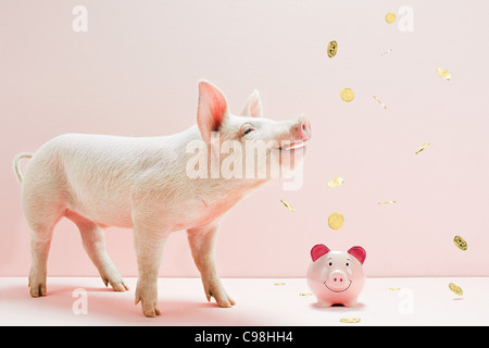 Piglet looking falling coins over piggybank studio - Stock Photo
