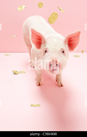 Piglet under falling gold coins, studio shot - Stock Photo
