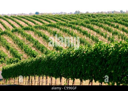 Rows of vines in Yakima Valley wine growing region Washington State USA - Stock Photo