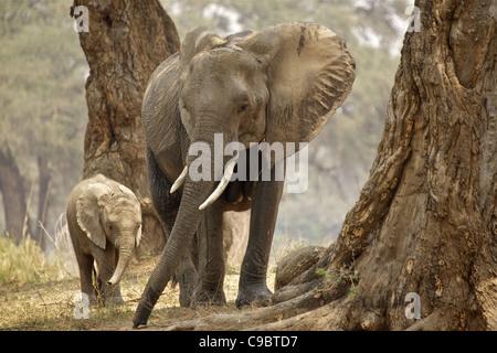 African Bush Elephant (Loxodonta Africana) mother and baby in wood, Mana Pools National Park, Zimbabwe - Stock Photo