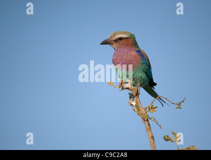 Lilac breasted roller sitting on a perch Coracius caudatus Bot - Stock Photo