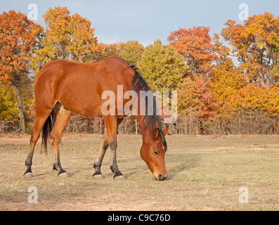 Red bay Arabian horse in pasture against trees with autumn colors - Stock Photo