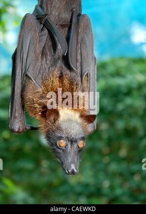 A captive fruit bat hangs from a branch near the Boracay Bat Cave, on Boracay Island in the Philippines.  The Acerodon - Stock Photo