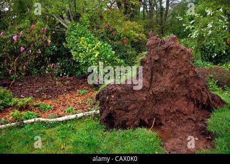 Garden Tree -  16 metre Southern Beech - Nothofagus obliqua blown over by gales in Holbrook Garden, near Tiverton, - Stock Photo