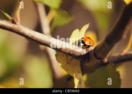 Macro of a 7-Spot Ladybird (Coccinella 7-punctata) walking on a branch - Stock Photo