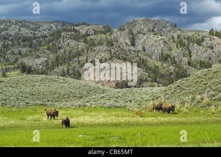 American Buffalo mothers and babies traveling the beautiful Yellowstone wilderness. - Stock Photo