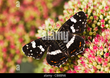 Dark colored summer generation of Map butterfly or Araschnia levana on Sedum flowers in autumn - Stock Photo