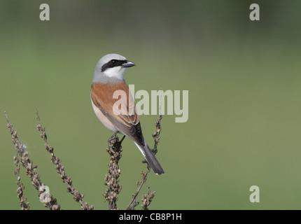 Red-backed Shrike /Lanius collurio/ - Stock Photo
