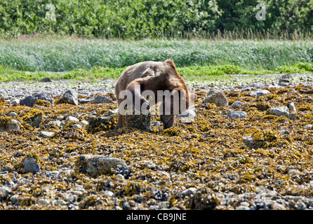 Brown bear eating sea shells at low tide. Glacier Bay National Park. Alaska. USA - Stock Photo