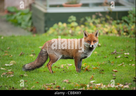 An urban red fox with winter coat standing on the garden lawn and looking to camera in early winter in London, England, - Stock Photo