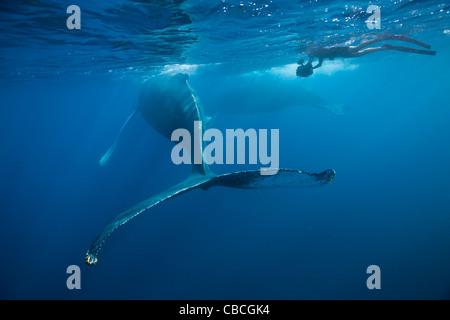 Humpback Whale, Megaptera novaeangliae, Caribbean Sea, Dominica - Stock Photo