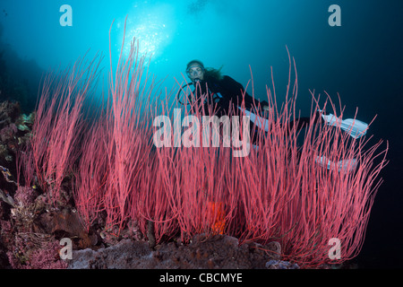 Scuba Diver and Whip corals, Ellisella ceratophyta, Cenderawasih Bay, West Papua, Indonesia - Stock Photo
