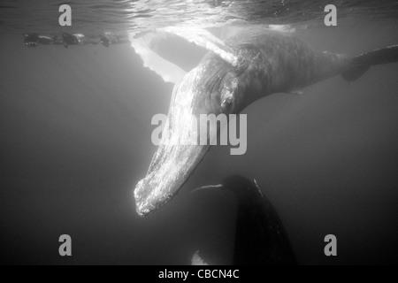 Humpback Whale and Free Diver, Megaptera novaeangliae, Silver Bank, Atlantic Ocean, Dominican Republic - Stock Photo