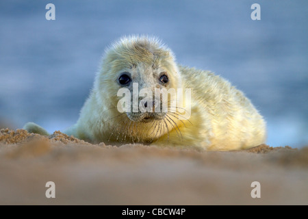 A young Grey Seal pup, Halichoerus grypus on a Norfolk beach - Stock Photo