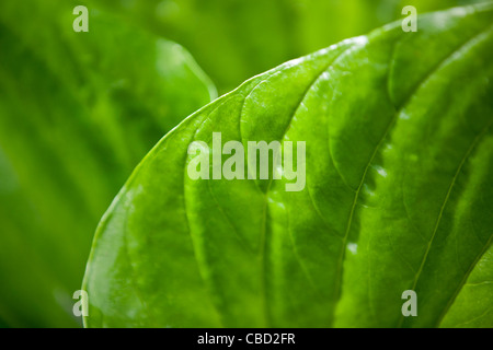 Close-up of a hosta leaf - Stock Photo