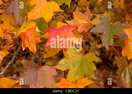 Leaves of American sweetgum, Liquidambar styraciflua, also known as sweet-gum, alligator-wood, American-storax in - Stock Photo