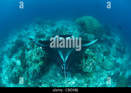 A manta ray, Manta alfredi, glides over a cleaning station where numerous fishes remove the manta's parasites. - Stock Photo