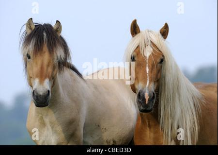 Norwegian Fjord Horse and Haflinger Horse (Equus ferus caballus). Portrait of two young stallions. - Stock Photo