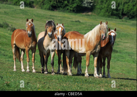 Norwegian Fjord Horse and Haflinger Horse (Equus ferus caballus). Group of young stallions on a meadow. - Stock Photo