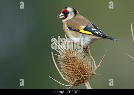 European Goldfinch (Carduelis carduelis). Adult feeding on teasel seed head. - Stock Photo