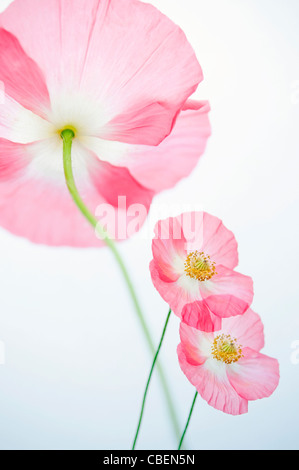 Papaver rhoeas 'Angel's choir', Poppy, Red pink flower subject. - Stock Photo