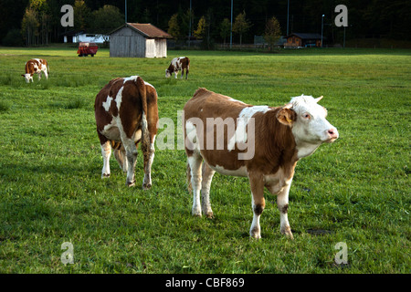 Cows grazing in an open field. - Stock Photo