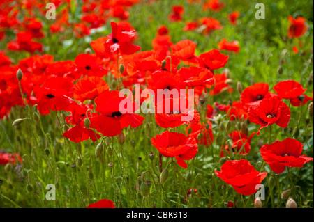 A field of scarlet poppies near Roslin in Midlothian, Scotland. SCO 7804 - Stock Photo