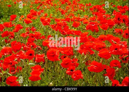 A field of scarlet poppies near Roslin in Midlothian, Scotland. SCO 7807 - Stock Photo