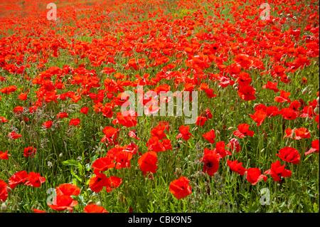 Field of Red Poppies near Roslin in Midlothian, Scotland. SCO 7811 - Stock Photo