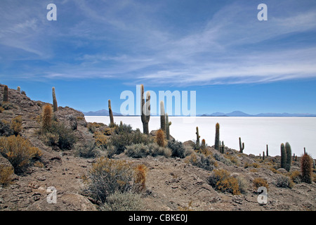 Cacti (Echinopsis atacamensis / Trichocereus pasacana) on Isla de los Pescadores, Salar de Uyuni, Altiplano Bolivia - Stock Photo