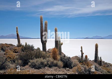 Cacti (Echinopsis atacamensis / Trichocereus pasacana) on Isla de los Pescadores at salt flat Salar de Uyuni, Altiplano - Stock Photo