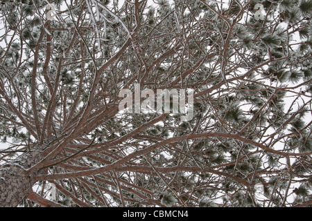 A nature picture showing the top of a snowy white pine tree in a the woods after a December snowstorm in Rhinelander - Stock Photo