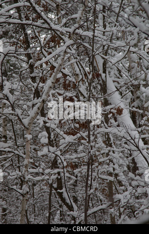 A nature picture of a snowy woods with a leaning tree after a December snowstorm in Rhinelander Wisconsin. - Stock Photo