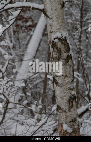 A nature picture of a birch tree close up in a snowy woods after a December snowstorm in Rhinelander Wisconsin. - Stock Photo