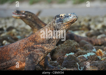 Komodo Dragon, Varanus komodoensis, Rinca, Komodo National Park, Indonesia - Stock Photo
