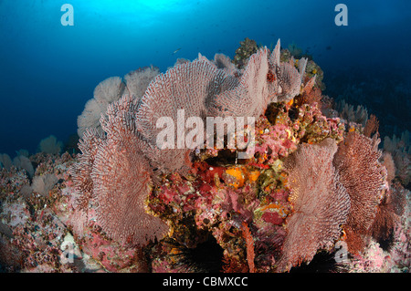 Seafan in Coral Reef, Gorgonaria, Malpelo Island, Pacific Ocean, Colombia - Stock Photo