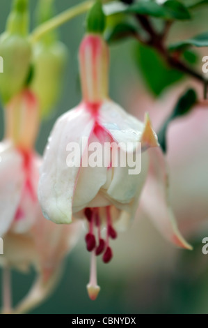 Fuchsia Annabel deciduous shrub double flowers white pink- tinged tubes sepals  pink and white petals corolla flower - Stock Photo