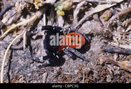 Ladybird Spider or Carmine Jumping Spider. Italy - Stock Photo