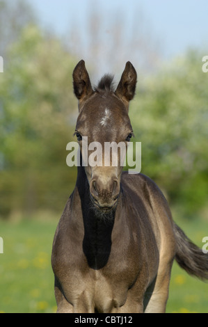 Three days Quarter Horse foal - Stock Photo