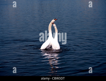2 White Swans in Love Play on Lake ( Cygnus olor ) - Stock Photo