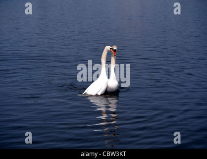 2 White Swans ( Cygnus olor ) Love Play in Water - Stock Photo