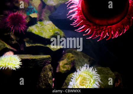 WASHINGTON DC, USA - Brightly colored sea anemones in an exhibit at Washington DC's National Aquarium. The National - Stock Photo