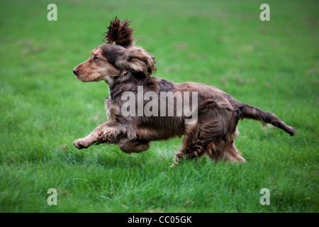 English Cocker Spaniel running in garden - Stock Photo