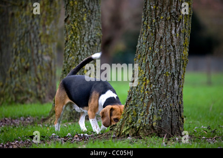 Tricolour Beagle dog sniffing at tree in garden - Stock Photo