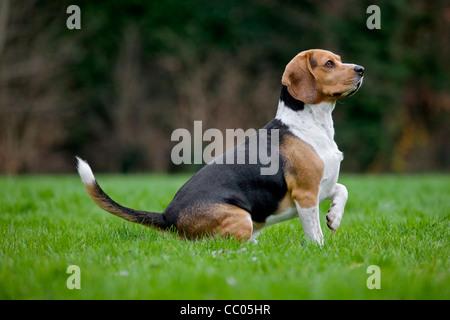 Tricolour Beagle dog sitting in garden - Stock Photo